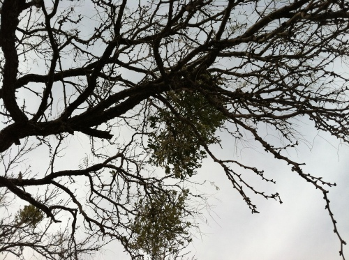 Clumps of Mistletoe Grow in the Trees