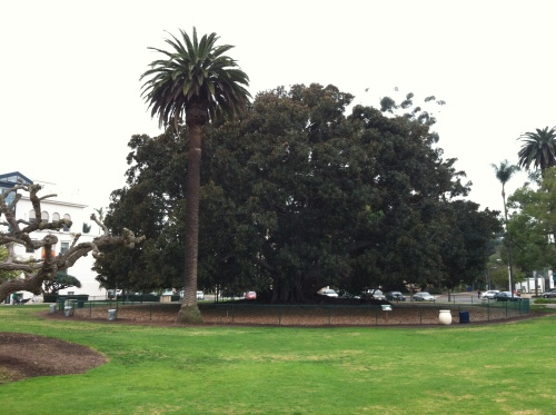 A Really Big Fig Tree