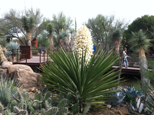 The Yuccas are blooming
