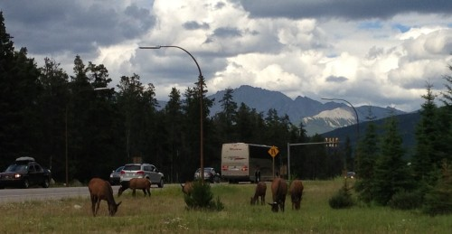 Elk Having Lunch on a Corner Near Jasper, Alberta.
