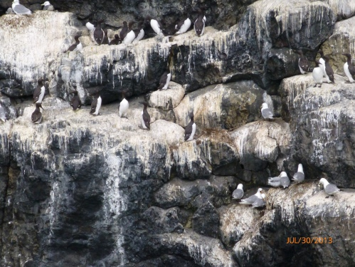 Seagulls and Common Murre