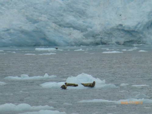 Steller Sea Lions Hanging Out on the Ice