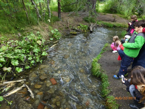 Salmon Spawning Stream