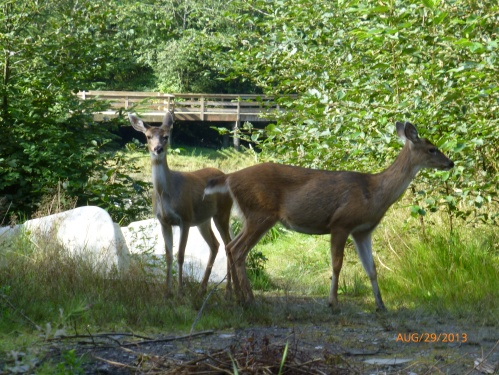 Alaska's Black-Tailed Deer
