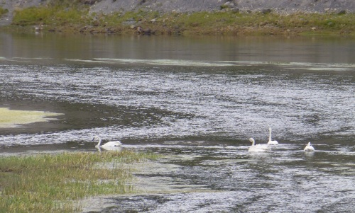 Trumpeter Swans at Yellowstone Park
