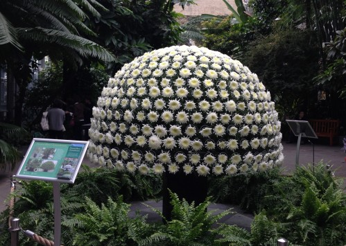 Thousand Bloom Chrysanthemum