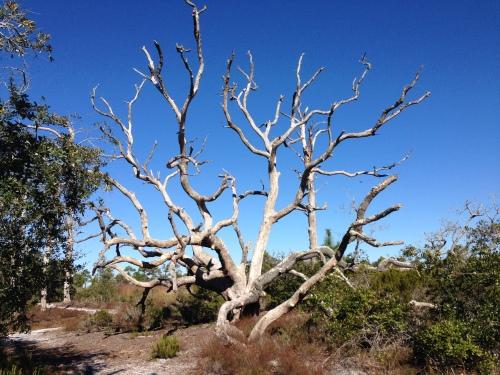 A Dead Live Oak Tree