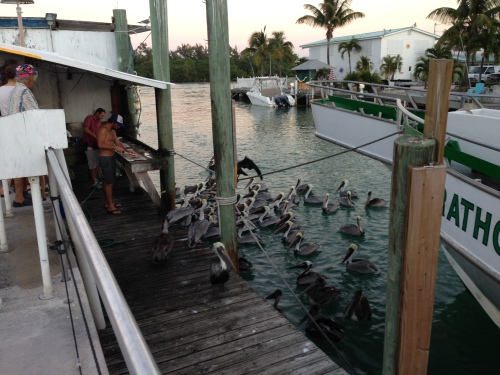 Hungry Pellicans