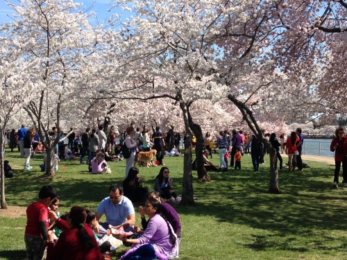 Enjoying the Cherry Blossoms in DC